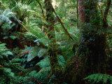 Trees, Tree Fern and Moss in the Dense, Wet Rainforest, Otway National Park, Australia Photographic Print by Rodney Hyett