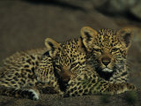 Two Sleepy Four-Month-Old Leopard Cubs Huddled Together Photographic Print by Kim Wolhuter