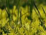 A Close View of Cattail Plants and Ferns Near the Susquehanna River Valokuvavedos tekijänä Raymond Gehman
