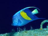 Arabian Angelfish (Pomacanthus Maculosus), Red Sea and Arabian Sea, Egypt Fotografie-Druck von Casey Mahaney