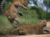 Mating Accomplished, Tjololo Springs Backward off His Partner Before She Can Turn on Him Photographic Print by Kim Wolhuter
