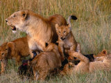 Lioness with Five Cubs on Dead Wildebeest, Masai Mara National Reserve, Rift Valley, Kenya Photographic Print by Mitch Reardon