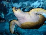Turtle Underwater, Australia Fotografie-Druck von Peter Hendrie