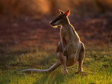 Agile Wallaby (Macropus Agilis), Kakadu National Park, Australia Photographic Print by Mitch Reardon