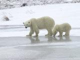 Polar Bear & Cub in Churchill, Manitoba Stampa fotografica di Keith Levit