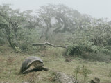 Alcedo Volcano is Home to One of the Largest Concentration of Giant Galapagos Tortoises Photographic Print by Sam Abell