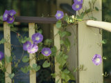 Purple Flowers Bloom on a Vine That Wraps Around a Wooden Fence Photographic Print by Stacy Gold