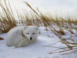 An Arctic Fox Curls up in the Snow for a Nap Fotografisk tryk af Norbert Rosing