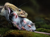 A Black Timber Rattlesnake Swallows a White-Footed Mouse Impressão fotográfica por Bianca Lavies