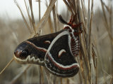 Cecropia Moth Photographic Print by Sam Abell
