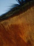 A Horses Neck and Mane Fotografisk tryk af Mattias Klum