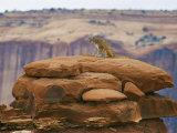 A Mountain Lion Pauses Atop a Cliff Ledge Impressão fotográfica por Norbert Rosing