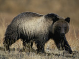 Grizzly Bear Fotografisk trykk av Michael S. Quinton