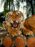 A Captive Tiger Snarls at the The Camera Fotografisk tryk af Paul Chesley