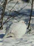 White-Tailed Ptarmigans Blending with the Snow Reproduction photographique par Michael S. Quinton