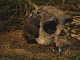Close View of the Fossilized Skull of a Homo Erectus Found in Java Fotografisk tryk af Kenneth Garrett