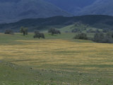 Scenic View of a Field of Wildflowers and Oak Trees in Cuyama Valley Photographic Print by Marc Moritsch