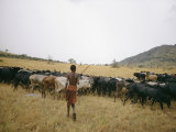 A Boy Tends to His Herd of Cattle Photographic Print by Joe Scherschel
