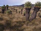 Meadows and Groundsel Trees, Mt. Kilimanjaro, Tanzania Reproduction photographique par Skip Brown