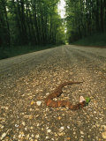 A Water Moccasin Snake Opens its Mouth on a Road in Mississippi Fotografie-Druck von Stephen Alvarez