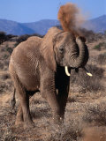 Elephant (Loxodonta Africana) Dust Bathing, Samburu National Reserve, Rift Valley, Kenya Photographic Print by Mitch Reardon