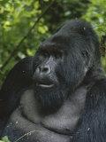 Portrait of a Silverback Mountain Gorilla, Gorilla Gorilla Beringei Lámina fotográfica por Tim Laman