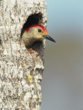Red-Bellied Woodpecker Looks Out from its Nest Photographic Print by Klaus Nigge