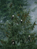 American Bald Eagles Perch in a Treetop Fotografisk tryk af Klaus Nigge