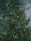 American Bald Eagles Perch in a Treetop Stampa fotografica di Klaus Nigge