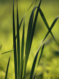 A Close View of Cattail Plants Growing on the Susquehanna River Valokuvavedos tekijänä Raymond Gehman