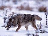 Coyote, Canis Latrans, MN Fotografie-Druck von D. Robert Franz