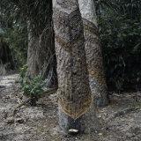 Para Rubber Tree (Hevea Brasiliensis) Brazil Lámina fotográfica