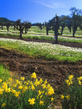 Flowers in a Vineyard at the Sausal Winery, Sonoma County, California, USA Lámina fotográfica por John Alves