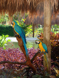 Two Blue and Gold Macaws Perched Under Thatched Roof Reproduction photographique par Lisa S. Engelbrecht