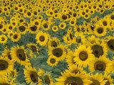 Field of Sunflowers, Fayette County, Kentucky, USA Photographic Print by Adam Jones