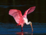 Roseate Spoonbill, Ding Darling National Wildlife Refuge, Sanibel Island, Florida, USA Photographic Print by Charles Sleicher