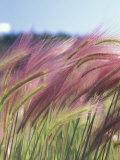 Wild Barley Reproduction photographique par Michele Westmorland