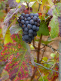 Beaujolais Red Grapes in Autumn, Burgundy, France Lámina fotográfica por Lisa S. Engelbrecht