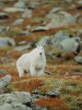 Mountain Goat (Oreamnos Montanus) Stampa fotografica di Elizabeth DeLaney