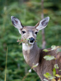 A Deer Eats a Mouthful of Leaves While Looking Curiously at You Fotografisk tryk af Taylor S. Kennedy