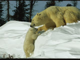 Mother Polar Bear Coaxes Her Cub up a Snow Bank Fotografisk trykk av Norbert Rosing