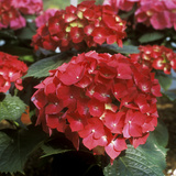 "Hydrangea Macrophylla ""Firelight"" (Syn H. ""Leuchtfeuer"") Reproduction photographique par Michele Lamontagne"