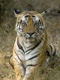 Bengal Tiger, Portrait of Male Tiger, Madhya Pradesh, India Fotografie-Druck von Elliot Neep