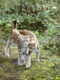 European Lynx, Female and Male, Northeast Finland Photographic Print by Philippe Henry