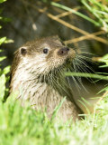 Otter Adult Emerging from Water, UK Fotografie-Druck von Mike Powles