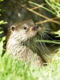 Otter Adult Emerging from Water, UK Lámina fotográfica por Mike Powles
