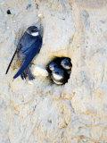 Sand Martin, Adult at Nest Site with Juveniles at Entrance Hole, Norfolk, UK Reproduction photographique par Mike Powles