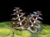 Christmas Tree Worm, Belize, Caribbean Reproduction photographique par Mark Webster