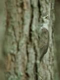 Goshawk, Peering from Between Trees Stampa fotografica di Mark Hamblin