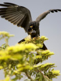 Snail Kite at Top of Tree with Apple Snail, Brazil Reproduction photographique par Roy Toft